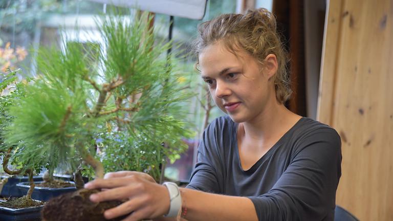 Pine Summer Pruning & Repotting - Open Bonsai Workshops