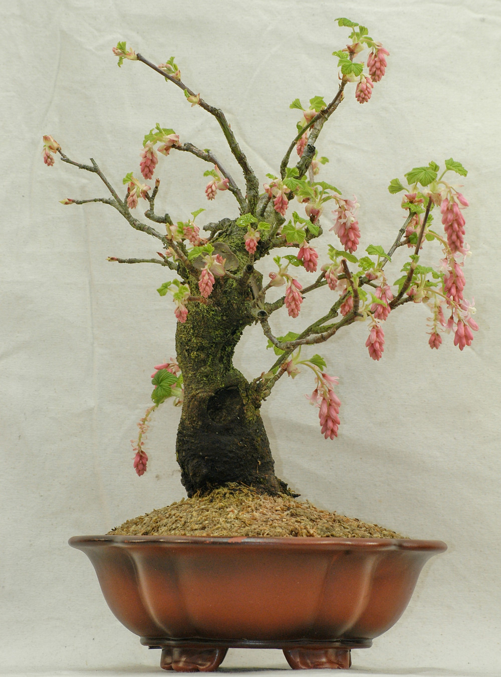 Flowering Red Currant Bonsai
