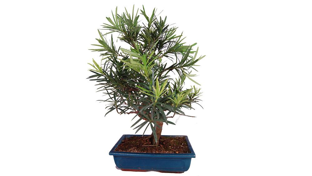 Japanese Temple Tree, Podocarpus macrophyllus, Bonsai