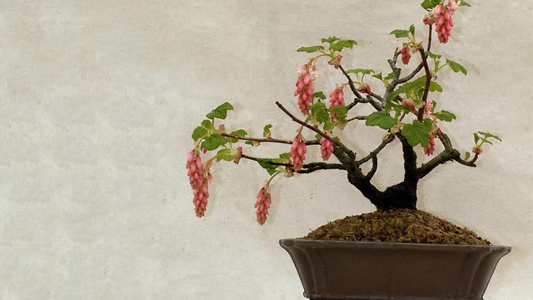 Early Spring Open Bonsai Workshops