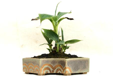 Dwarf Banana 'Cavendish'