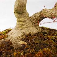 Acer plamtum, Nebari
