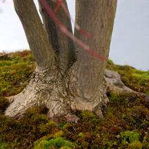 Acer palmatum, nebari