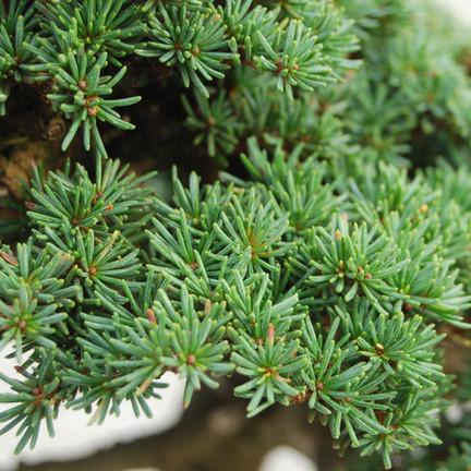 Cedrus brevifolia, leaves