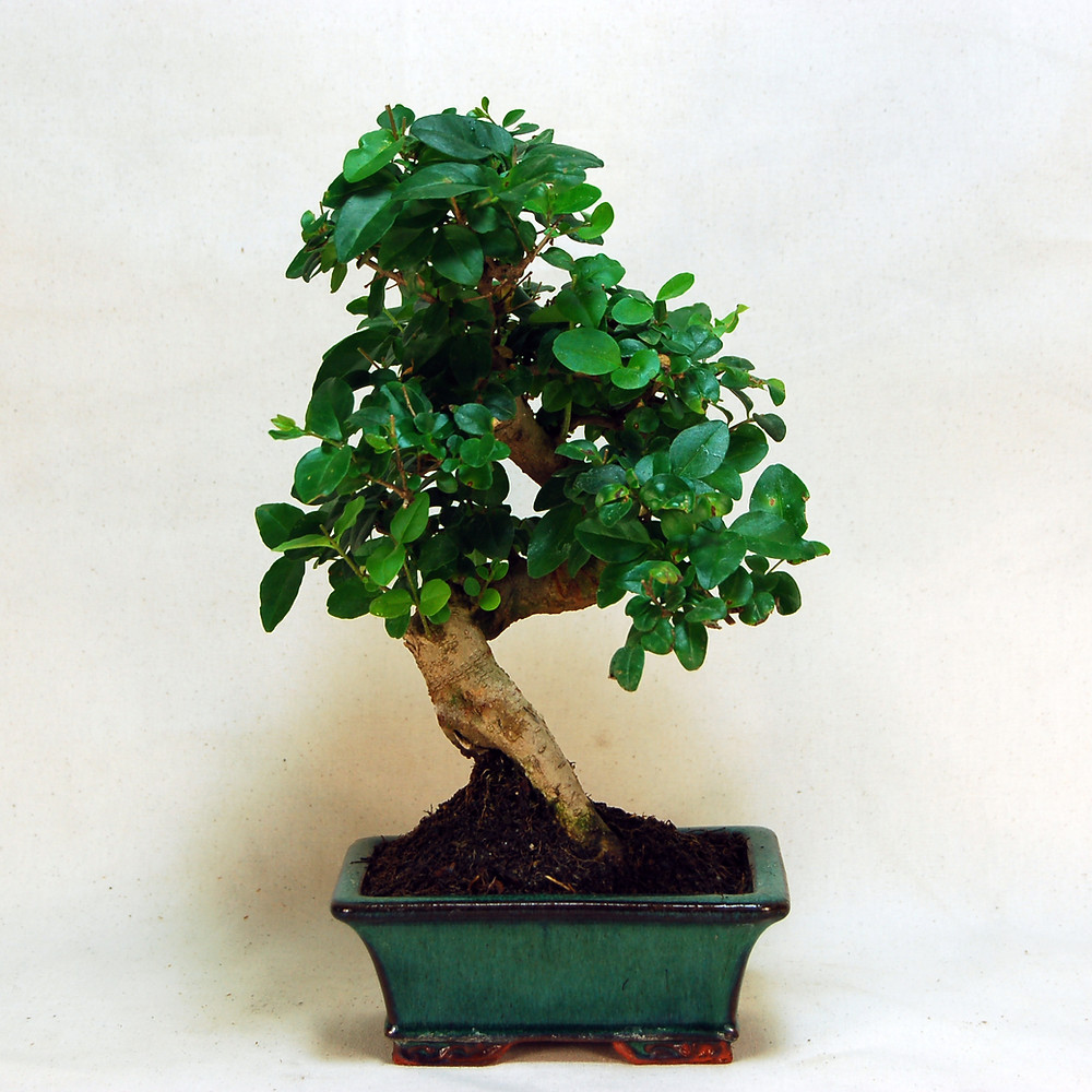 Chinese Privet, Ligustrum sinense, Bonsai