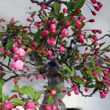 Malus halliana - blossom