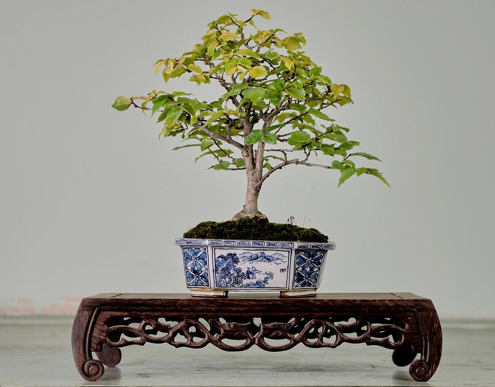 Chinese Elm, Ulmus parvifolia, Golden Chinese Elm Bonsai