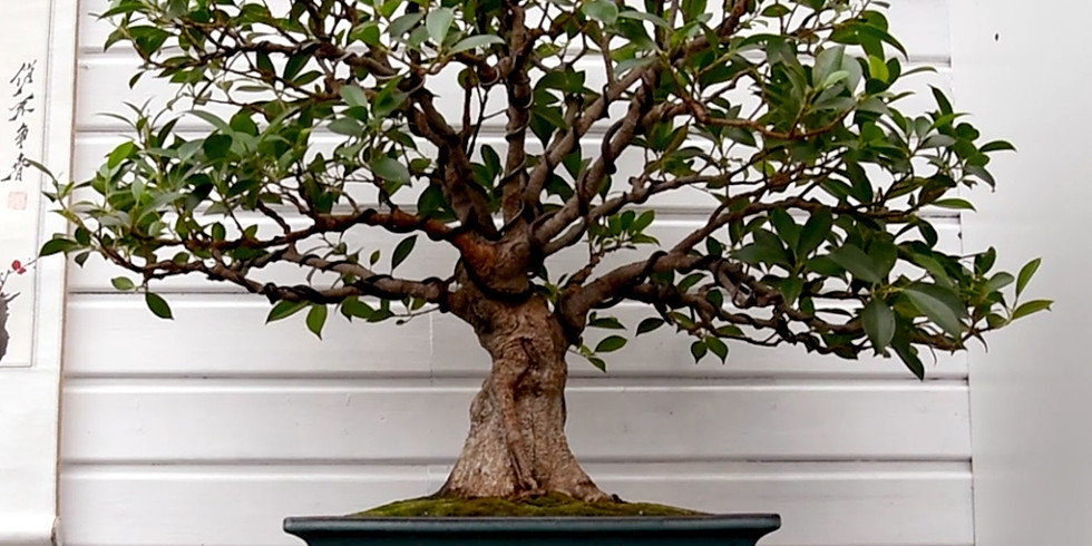 Growing Indoor Bonsai - The Art and Science