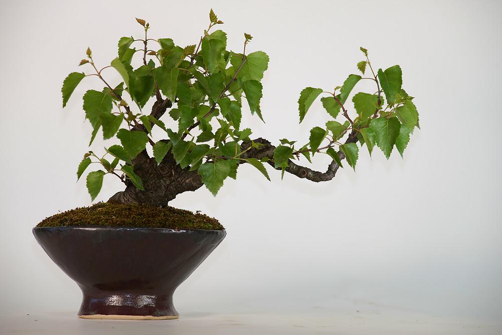 Downy Birch, Betula pubescens, Bonsai