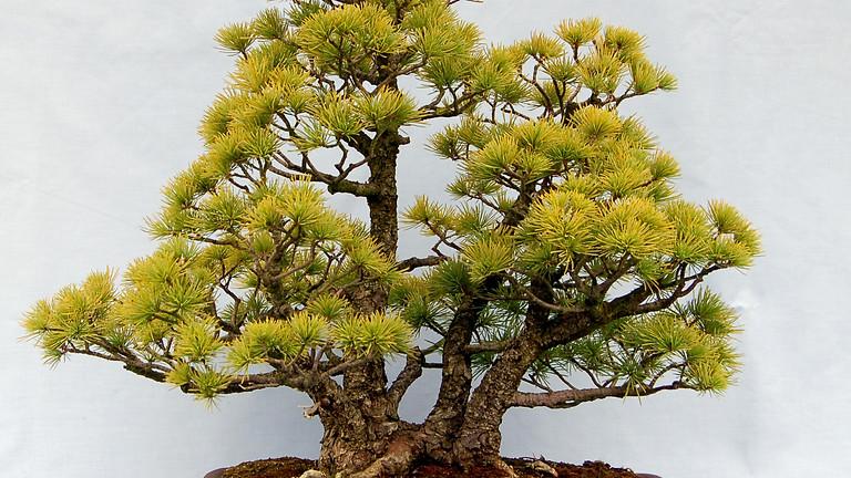 3104: Pruning of Conifer Bonsai Species