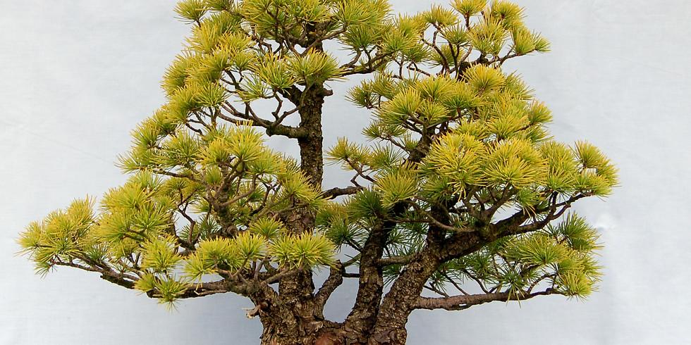 3303: Japanese Pines