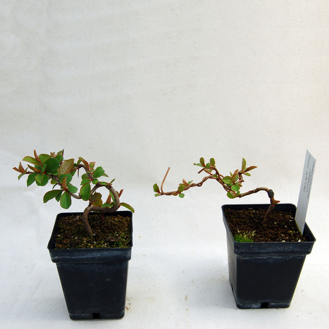 Quince Cuttings