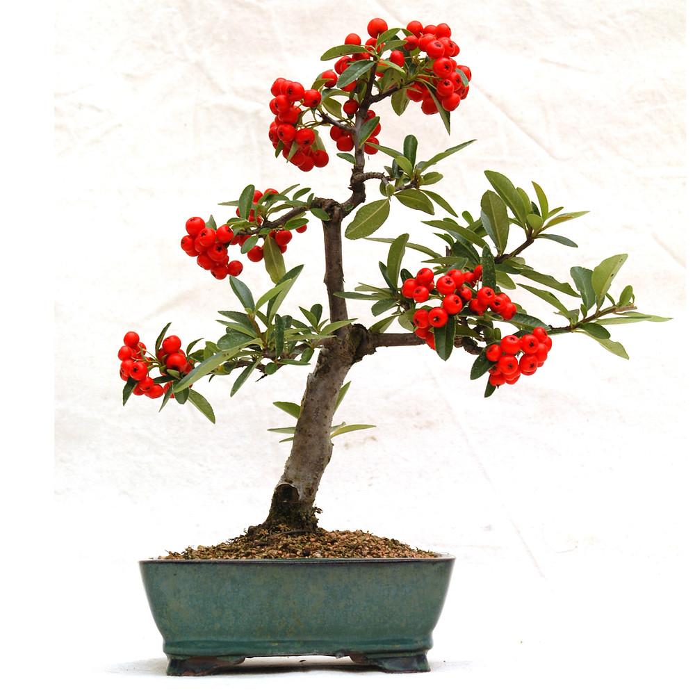 Pyracantha coccinea, Scarlet Firethorn, Bonsai, Autumn
