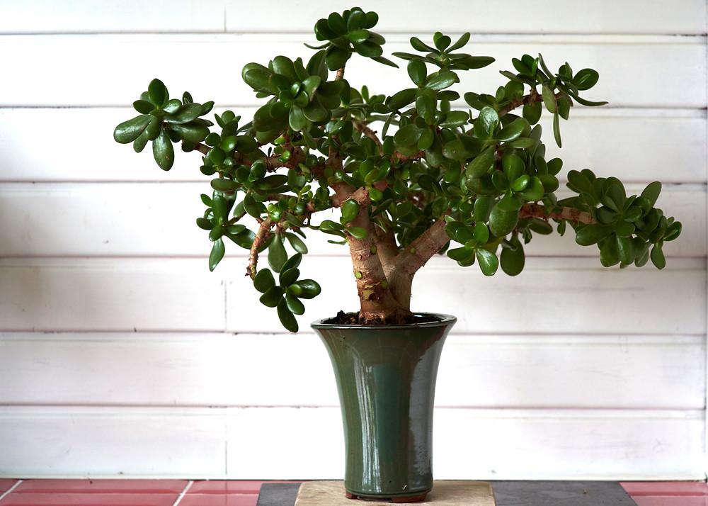 Crassula ova, Jade Plant, Money Tree, Bonsai