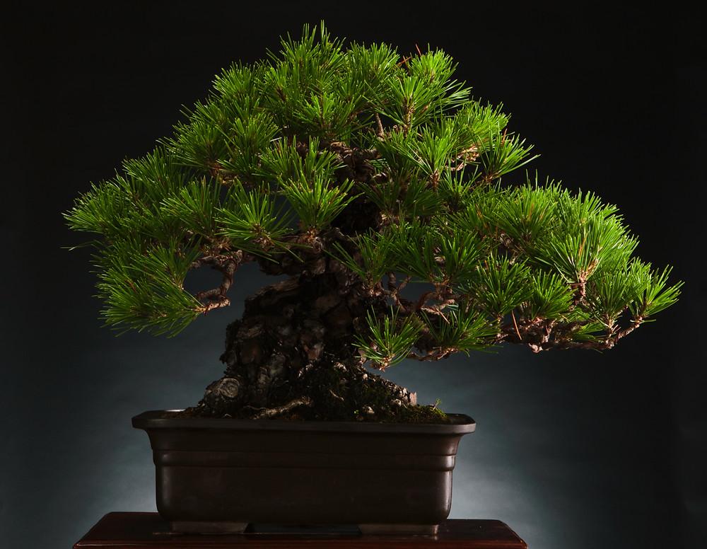 Japanese Black, Pinus thunbergii, Bonsai, Mrs Kale Collection