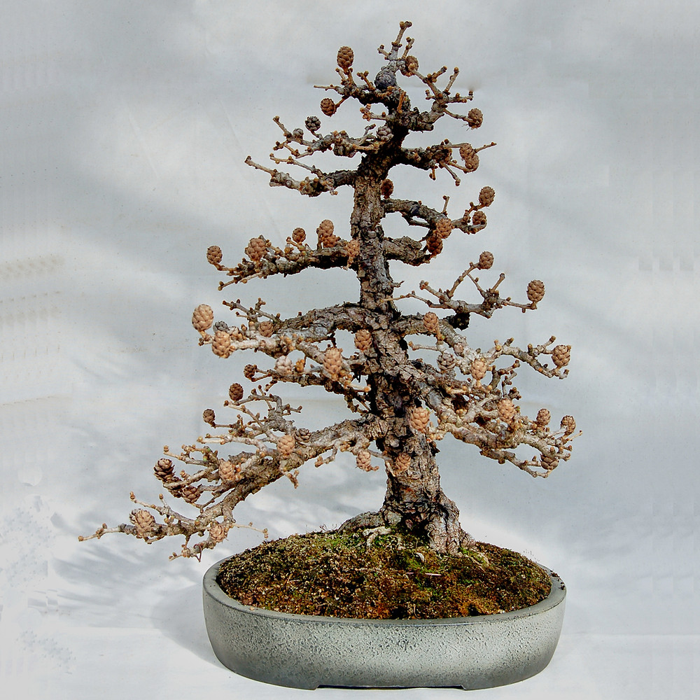 European Larch, Larix decidua, Bonsai