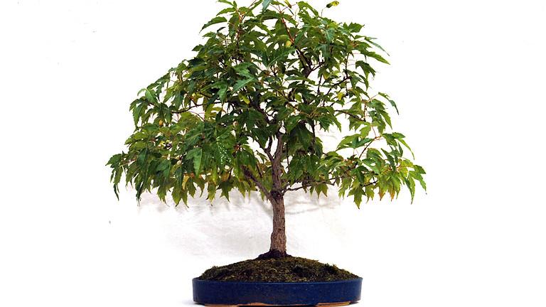 Summer Pruning for Inner Growth - Open Bonsai Workshops