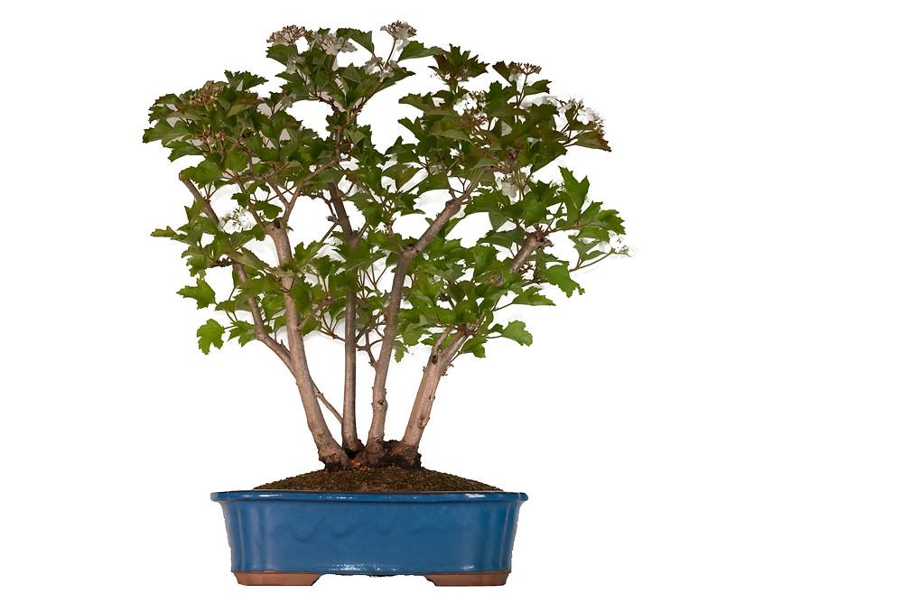 Red Currant, Ribes Rubrum, Bonsai