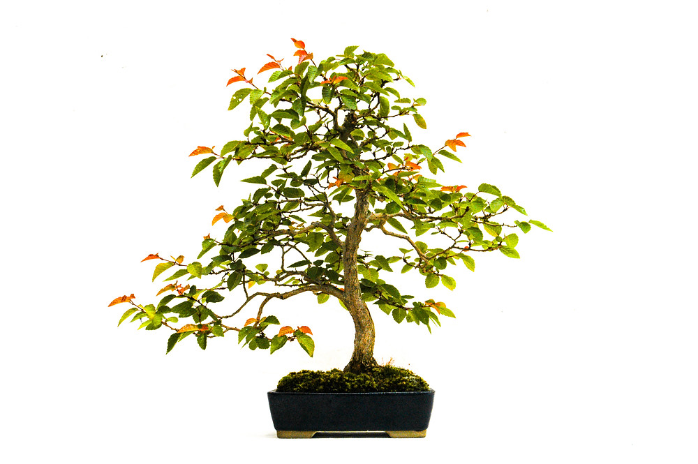 Korean Hornbeam, Carpinus turczaninowii, Bonsai