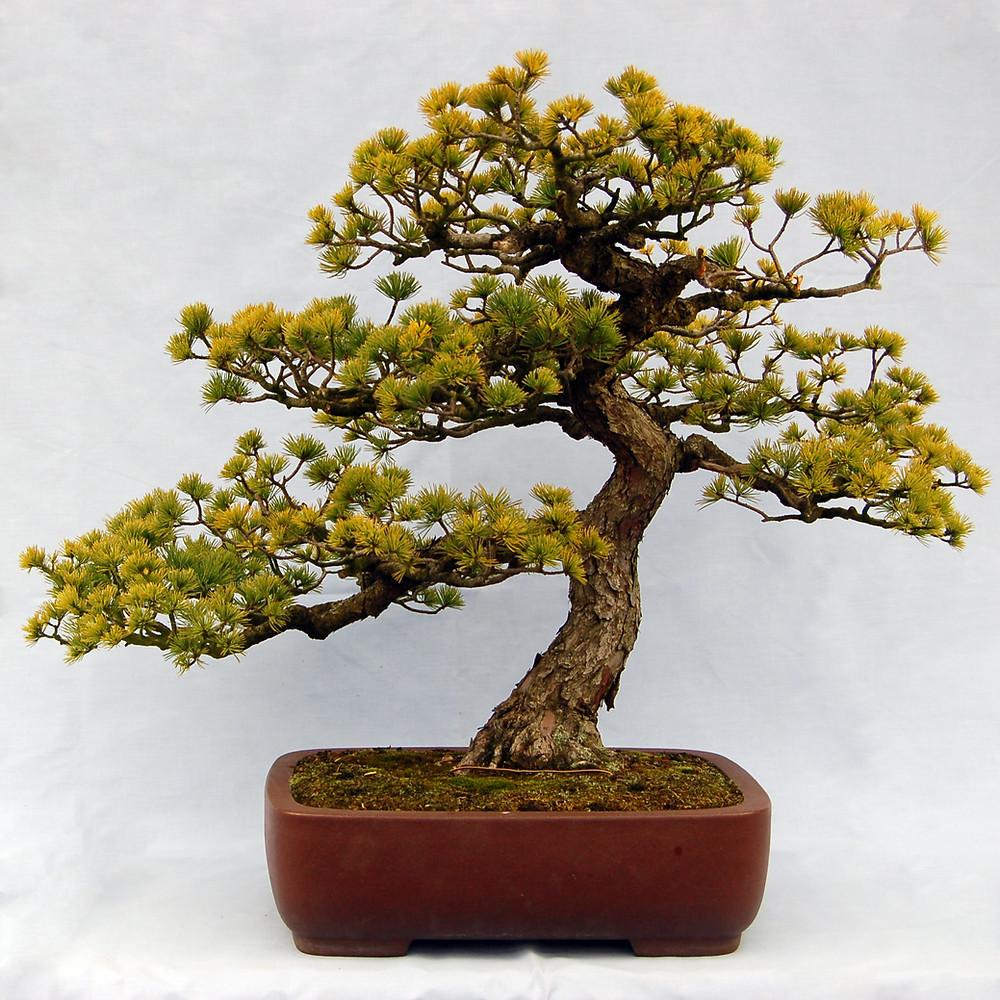 Japanese White Pine, Pinus parviflora, Bonsai