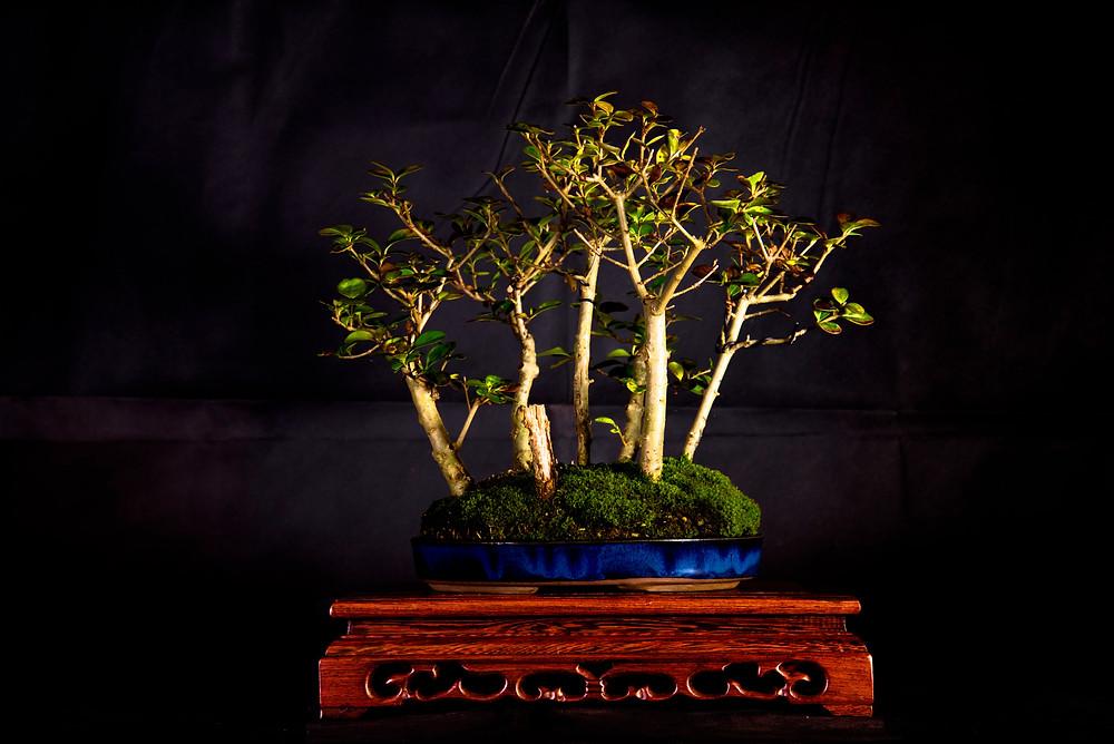 Ligustrum Forest, Gary Jones Collection