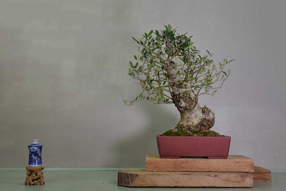 Olive, Olea europaea, Bonsai