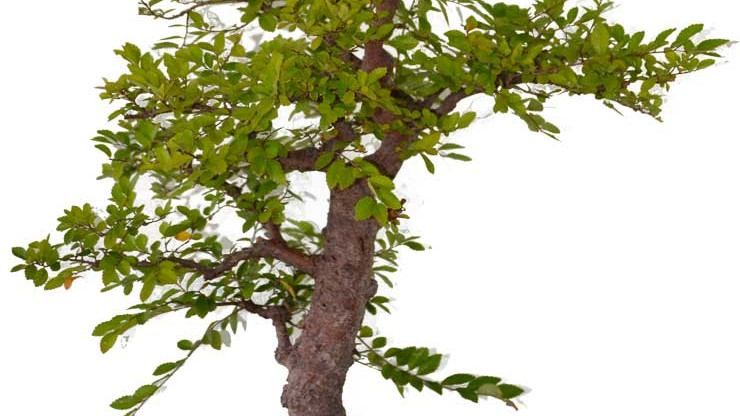 Mid Summer Pruning for Inner Growth  - Open Bonsai Workshops