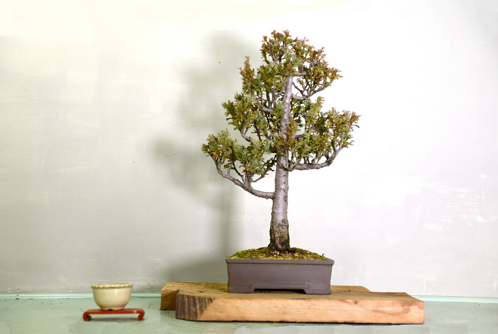 Lawson Cypress, Chamaecyparis lawsoniana, Bonsai
