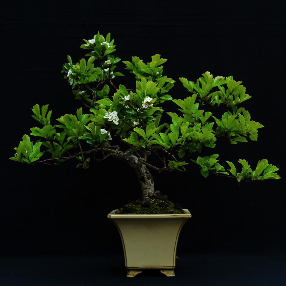 Chinese Hawthorn, Crataegus cuneata, Bonsai