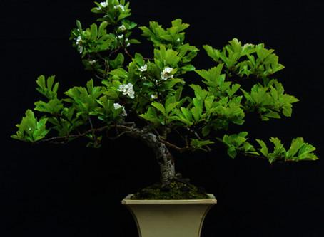 Chinese Hawthorn