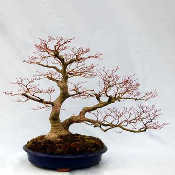Acer plamtum