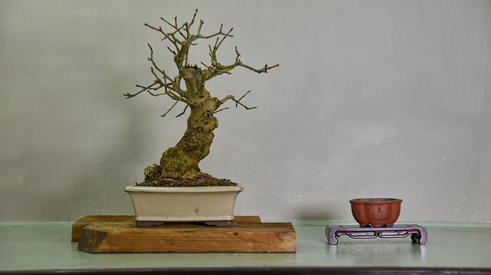 European Ash, Fraxinus angustifolia, Bonsai