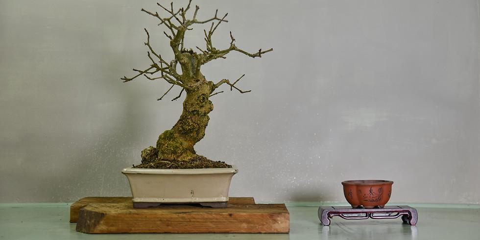 Open Bonsai Workshops - Spring Preperation