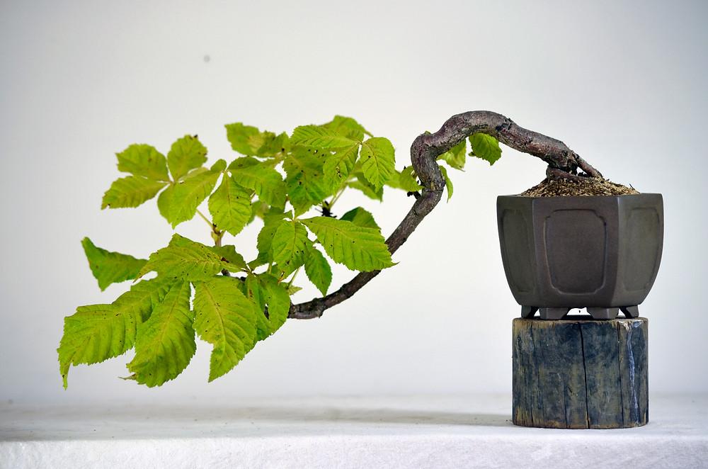 Conker Tree, Aesculus hippocastanum, Bonsai