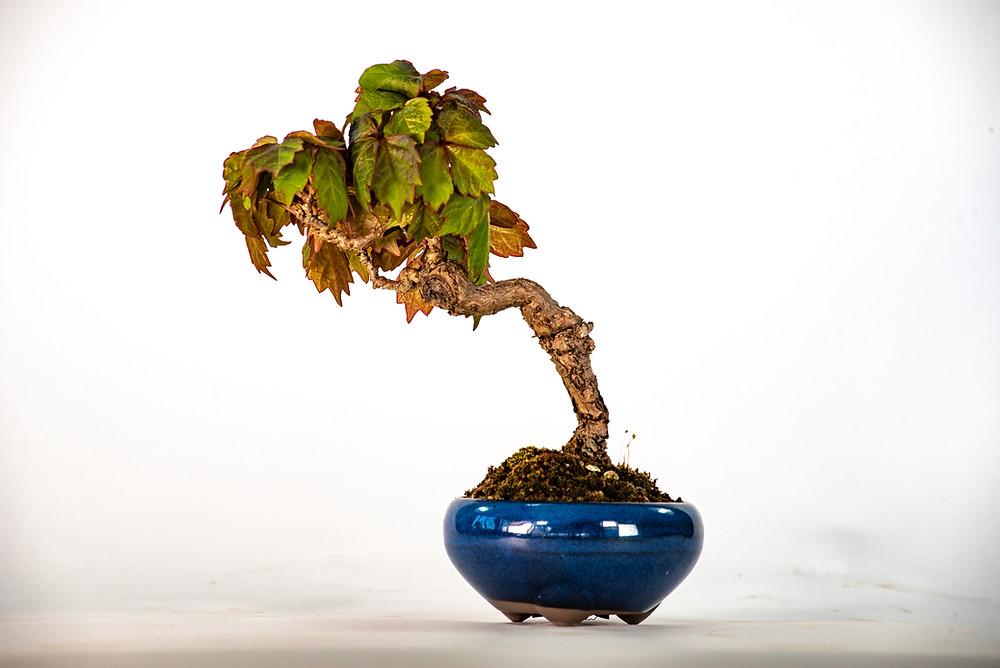 Parthenocissus quinquefolia, Virginia Creeper, Bonsai