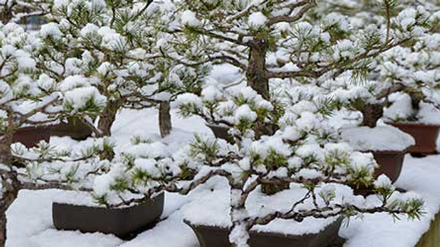 3105: Autumn and Winter Care for Bonsai Trees