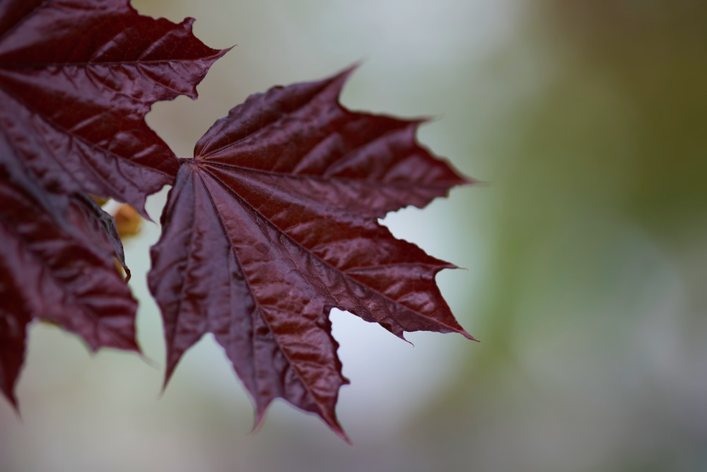 Acer rubrum, Canadian Red Maple, Leaves