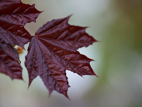 Canadian Red Maple