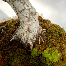 Cratageus monogyna, nebari
