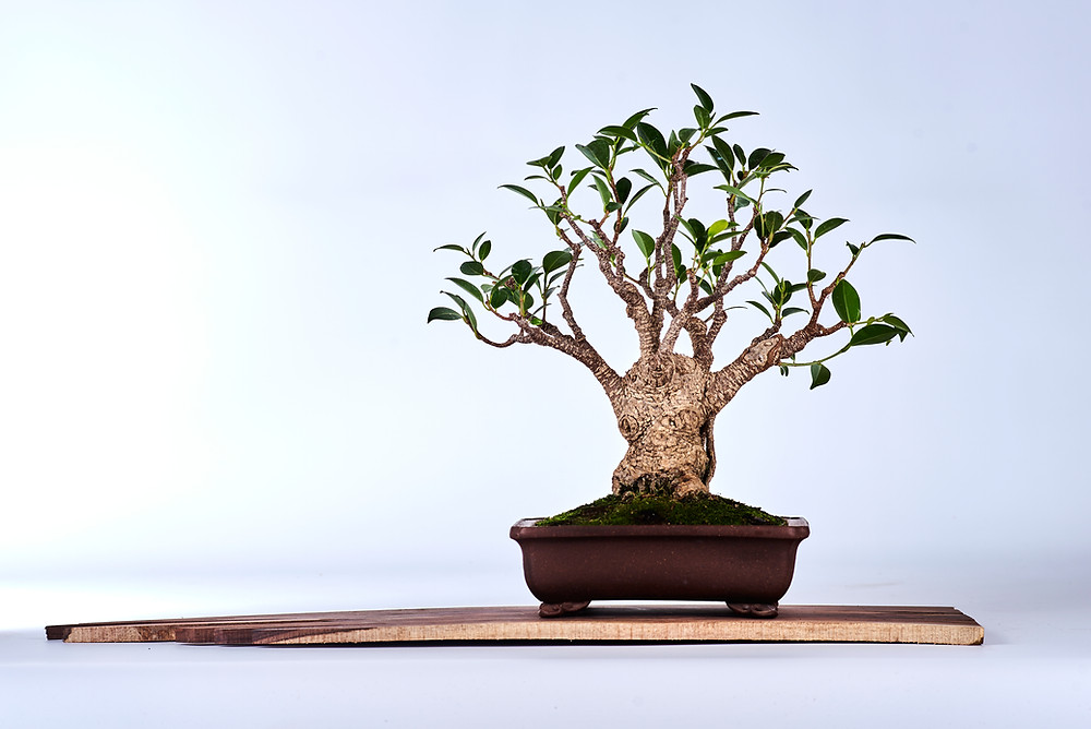 Ficus retusa, Chinese Banyan, Bonsai