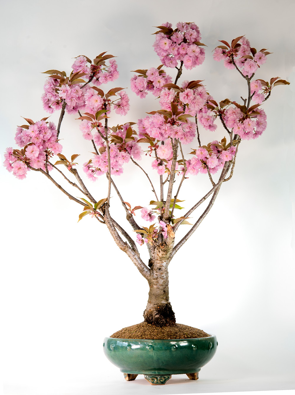 Kwanzan Cherry Bonsai