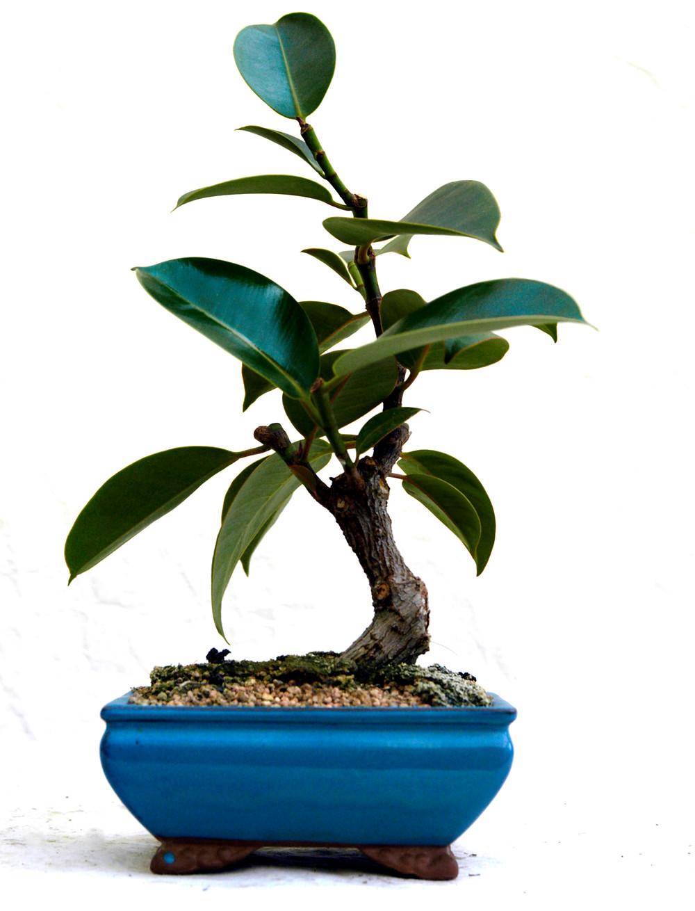 Ficus elastica Bonsai