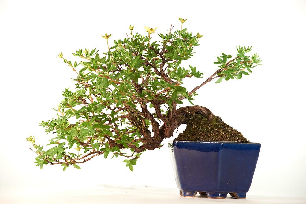 Potentilla fruticosa, Shrubby Cinquefoil, Bonsai