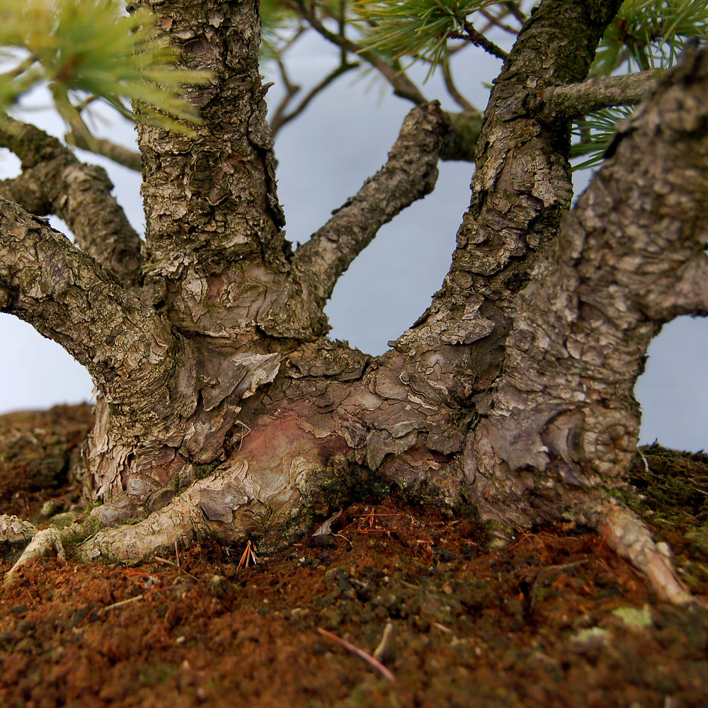 Japanese White Pine, Pinus parviflora, Bonsai Nebari