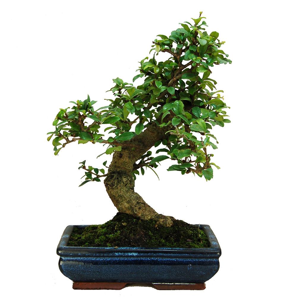Fukien Tea Bonsai, Carmono microphylla