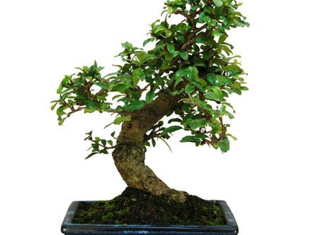 Oriental Tea Tree