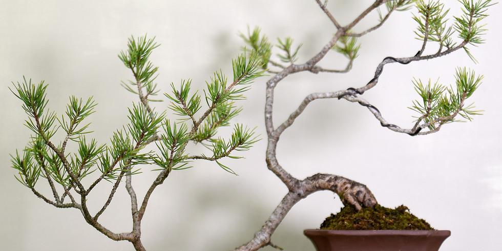 3304: European Pines