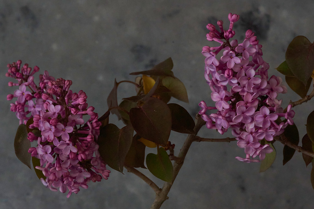 Common Lilac, Flowers