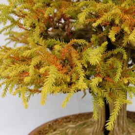 Cryptomeria japonica, foliage