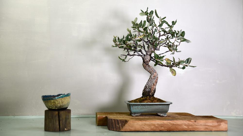 Quercus suber, Cork Bark Oak, Bonsai